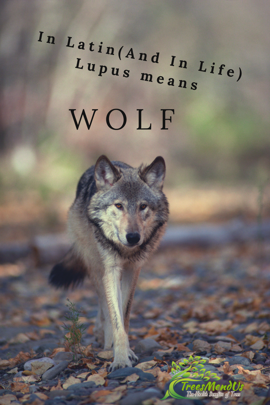 Lupus In Latin And In Real Life Means Wolf Treesmendus